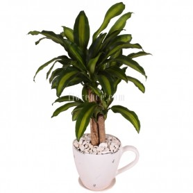 Brazilwood plant in ceramic...