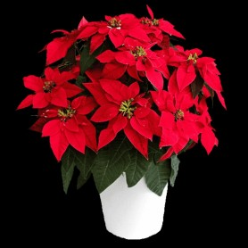 Beautiful Christmas Poinsettia Plant