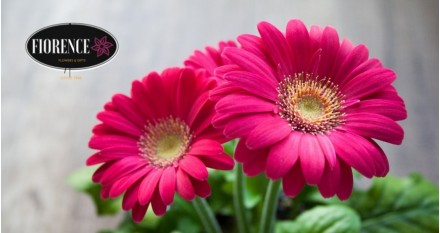 Gerberas – Colores y alegría