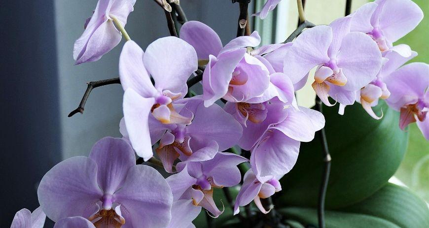 Cómo regar una orquídea